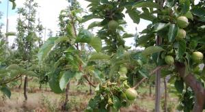 Ochrona sadu: Jak zwalczać mszyce latem?