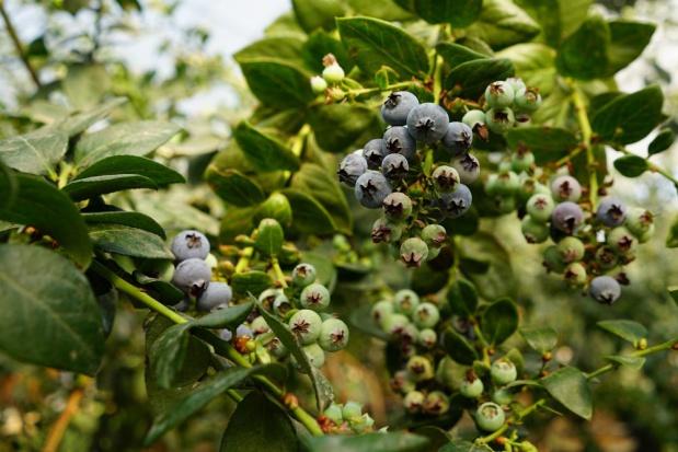 Drosophila suzukii – poważne zagrożenie dla owoców miękkich