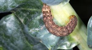 Na kapuście żerują gąsienice piętnówki kapustnicy