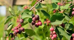 Owoce świdośliwy podbiją polski rynek? - odmiany polecane do nasadzeń towarowych