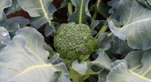 Poplonowa uprawa brokuła – na jakie czynniki warto zwrócić uwagę?