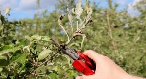 Ekspertka IO: Niewielkie zagrożenie parchem, duże mączniakiem jabłoni