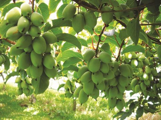 Owoce minikiwi z Europy Południowej trafią do polskich sklepów