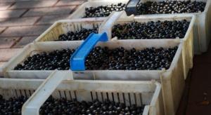 KSPCP: Spadku zbiorów czarnej porzeczki nie rekompensują wyższe ceny owoców