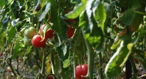 Carrefour rozszerza markę własną o pomidory malinowe z Mazowsza