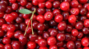 Niskie ceny skupu wiśni. Sadownicy wstrzymują zbiory