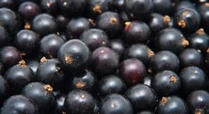 Kiepski rok dla producentów wiśni i czarnych porzeczek
