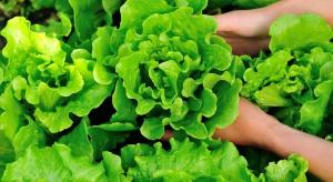 Jakie szkodniki atakują sałatę w gruncie? - ochrona upraw