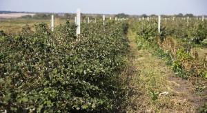 Zabiegi ochronne na plantacjach malin po zbiorze owoców