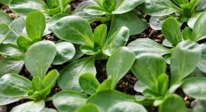 Poplonowa uprawa roszponki warzywnej na zbiór jesienny