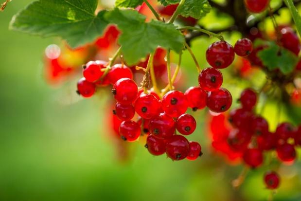 Nowa rejestracja insektycydu - dla porzeczki czarnej, czerwonej oraz winorośli