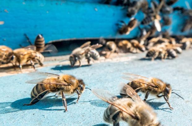 Polskie rolnictwo zawdzięcza pszczołom 4,1 mld zł