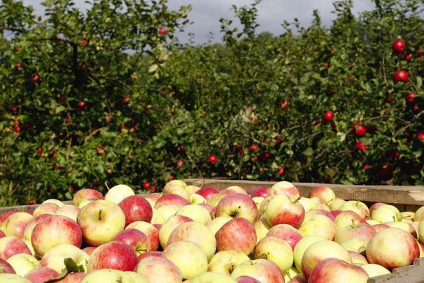 Zmniejszą się unijne zbiory jabłek. Wyniosą 12 mln ton
