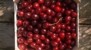 Mazowsze: Wiśnie skupowane są za 0,5 zł/kg