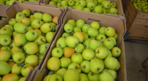 UE: Mniejsze będą zbiory jabłek odmiany Golden Delicious