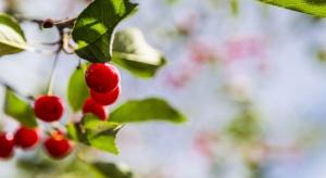 Sadownicy: Wiśnie zostały na drzewach, bo nie opłacało się ich zrywać