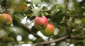 Bawełnica korówka wciąż zagraża jabłoniom - wskazany monitoring