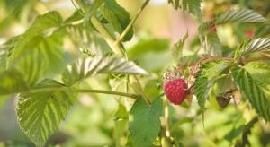 Zagrożenia dla upraw maliny powtarzającej – jak ograniczyć straty?