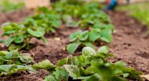 Biała plamistość liści truskawki – lustracje nowych plantacji