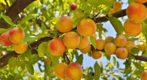 Niskie ceny zniechęciły sadowników do uprawy brzoskwiń
