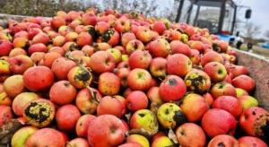 Brak solidarności wśród sadowników. Wciąż dowożą jabłka na skupy