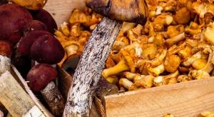 W Wielkopolsce kwitnie skup i przetwórstwo grzybów