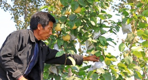 Produkcja owoców w papierowych torebkach wzorem Chin