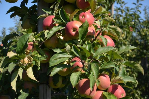 Timac Agro przedstawia efekty stosowania swoich produktów w sadzie (zdjęcia)