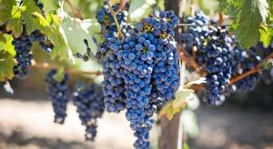 Powierzchnia upraw winorośli w Polsce może sięgać już ok. 280 ha