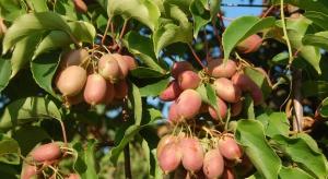 Minikiwi w uprawie towarowej. Owoce wzbogacają ofertę plantatorów (zdjęcia)