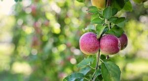 Ciągłe zwiększanie produkcji tylko pogrąża branżę sadowniczą