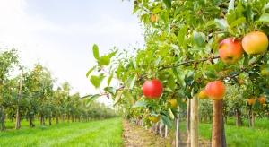 Nawożenie dolistne jabłoni po zbiorze owoców