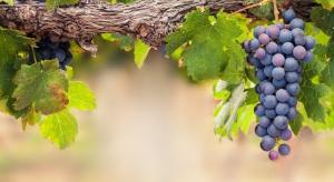 Powstaje coraz więcej krajowych winnic