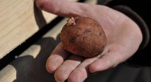 Nowość do zaprawiania sadzeniaków ziemniaka przed rizoktoniozą i parchem srebrzystym