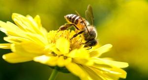 Greenpeace: Ponad 119 tys. wirtualnych pszczół znalazło opiekunów