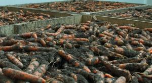 Zgnilizna twardzikowa –problem w trakcie przechowywania warzyw