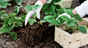 Szkodniki glebowe na plantacjach truskawki – możliwości zwalczania
