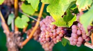 Świętokrzyskie: W rejonie działa już ok. 40 winnic