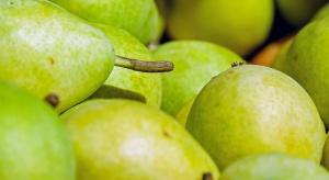 8-proc. spadek zbiorów gruszek w UE - analiza rynku