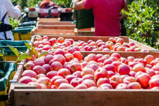 Produkcja jabłek w Brazylii ma nieznacznie wzrosnąć w 2017 r.