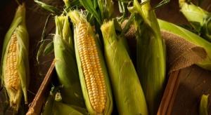 Ekspert: Kukurydza ma szereg zastosowań w przemyśle spożywczym