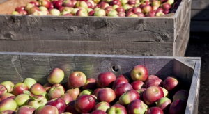 Ceny jabłek przemysłowych są o 40 proc. niższe niż w ubiegłym sezonie