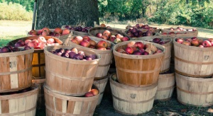 W listopadzie br. odnotowano nieznaczny wzrost cen skupu jabłek