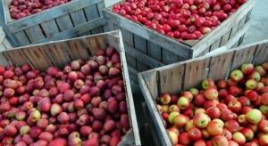Wzrosły zapasy jabłek w Polsce