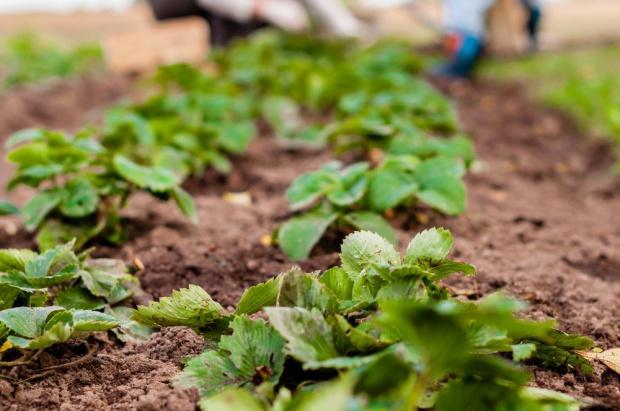 Wsparcie do uprawy truskawek. MRiRW wprowadzi zmiany w dopłatach bezpośrednich