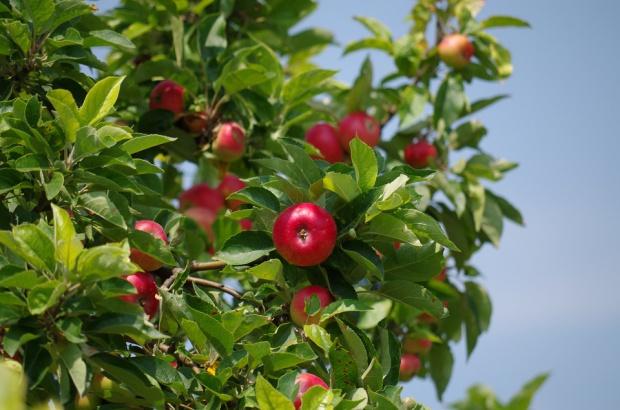UE: Produkcja jabłek do 2026 r. wzrośnie z 12,3 mln do 13,5 mln t