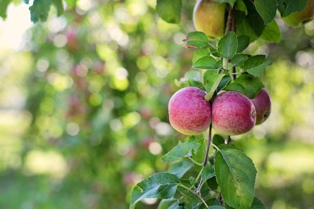 Produkcja jabłek w Rosji w sezonie 2016/2017 wyniesie ok. 1,33 mln ton