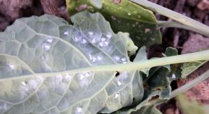 Zwalczanie szkodników warzyw - o czym warto pamiętać planując uprawę?