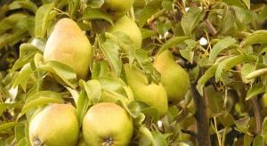 Belgijscy ogrodnicy rozwijają produkcję grusz kosztem jabłek