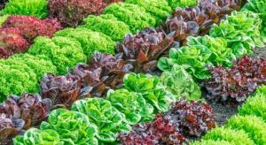 UE: Rekordowy import sałaty w sezonie 2015/2016
